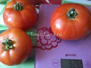 помидоры Берберана фото