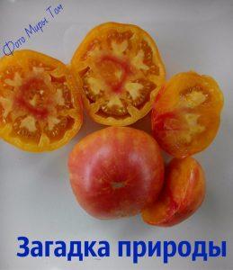 помидоры загадка природы фото спелых плодов