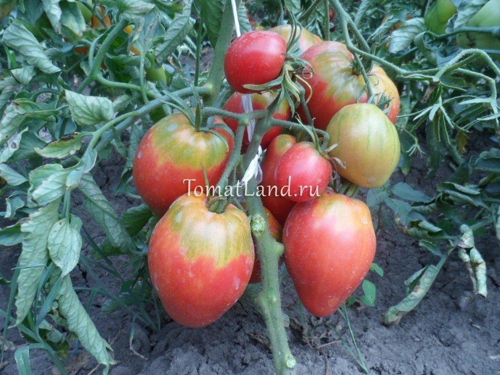 помидоры бычье сердце отзывы