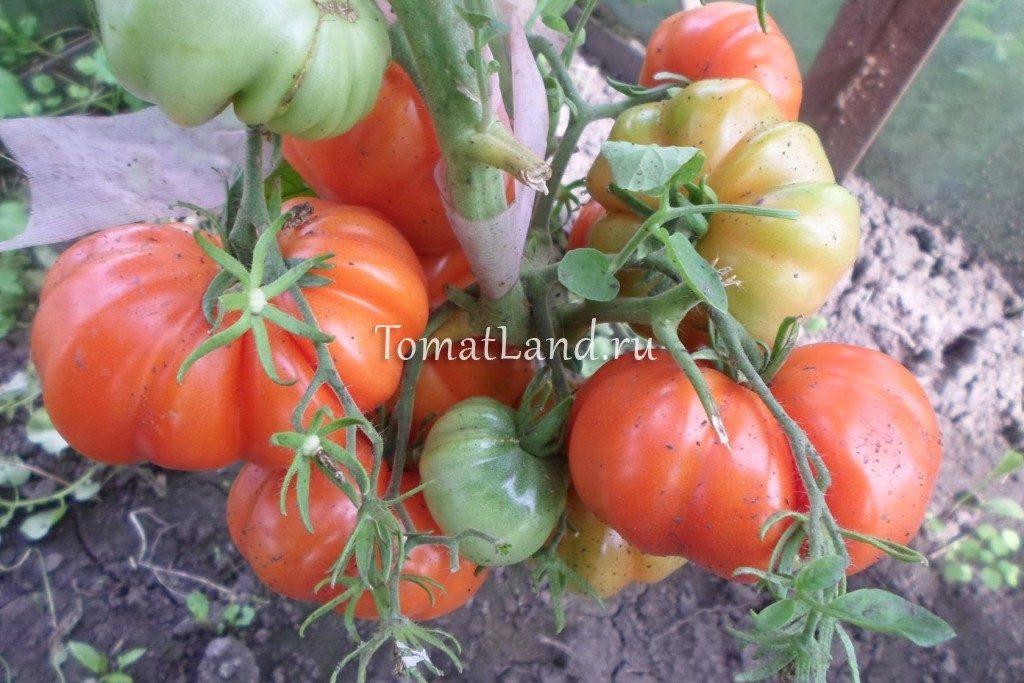помидоры сорта Русско-сицилийская тогетта фото