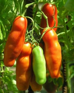 помидоры аурия отзывы фото