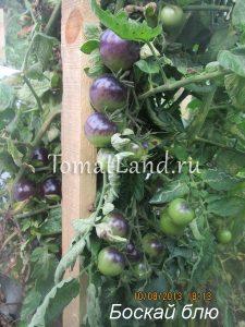 томаты сорт Баскью блю отзывы