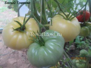 томаты сорт Белый томесол отзывы