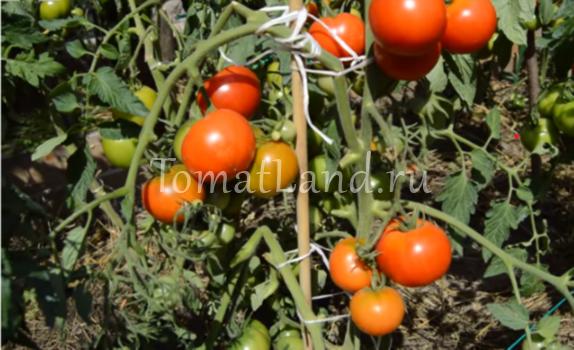 томаты дачник фото на кусте отзывы