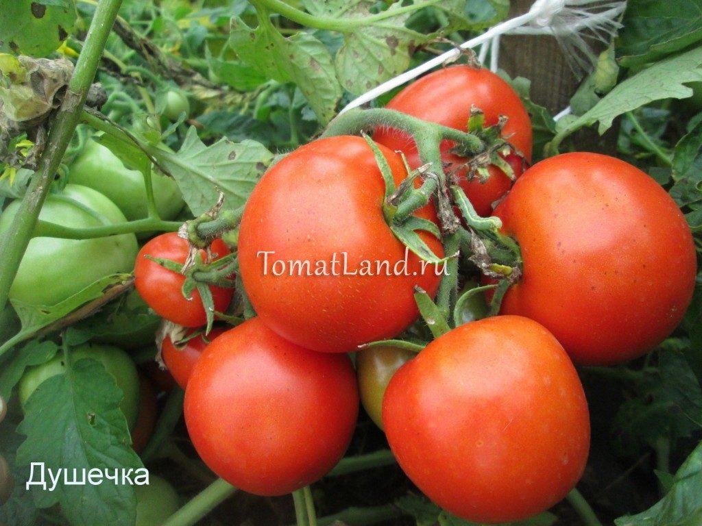 помидоры Душечка фото отзывы
