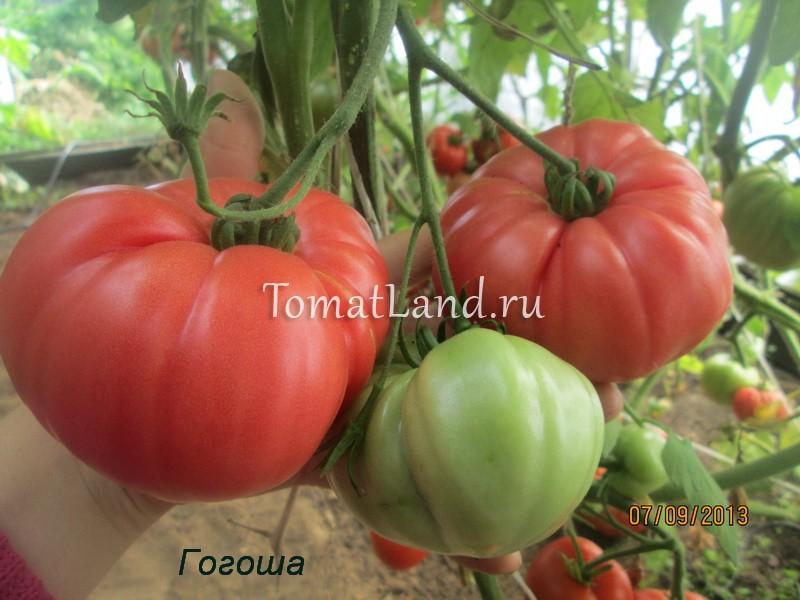 помидоры Гогоша отзывы фото