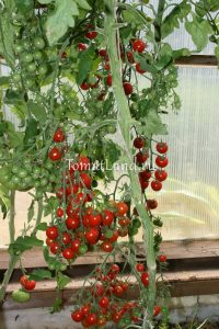 томаты Сладкий миллион
