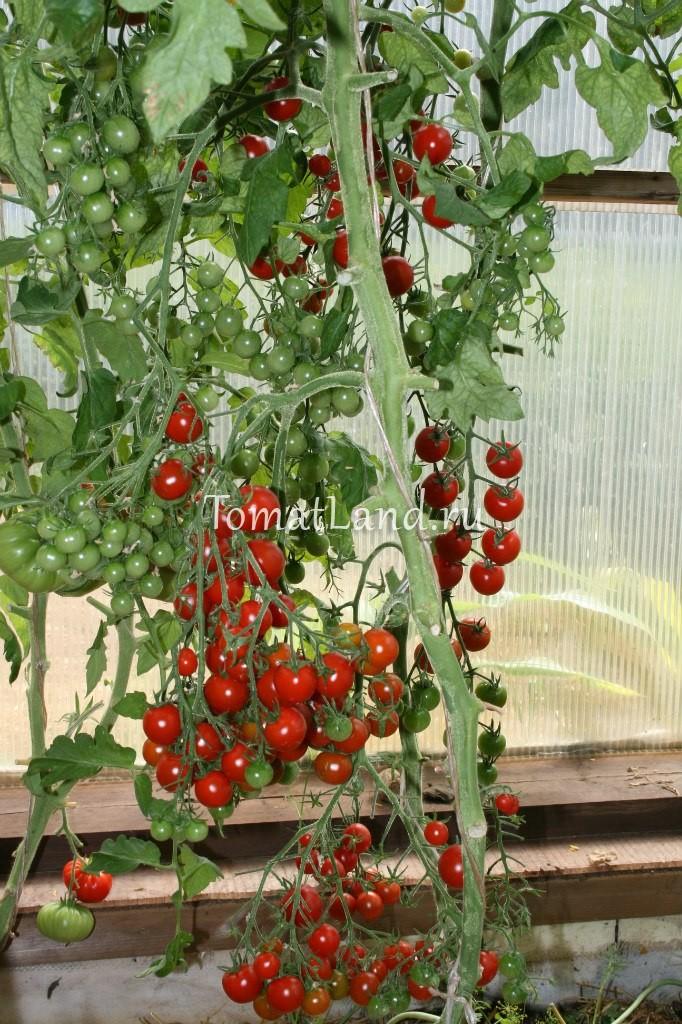 томаты Сладкий миллион фото отзывы