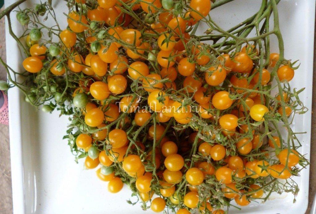 томаты ильди фото спелых плодов