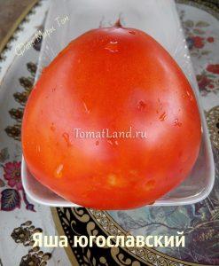 помидоры Яша Югославский отзывы