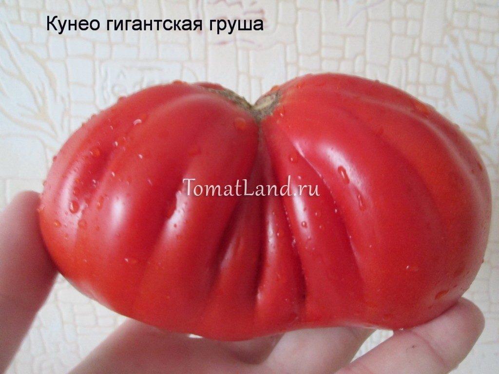 помидоры Кунео груша фото спелых плодов