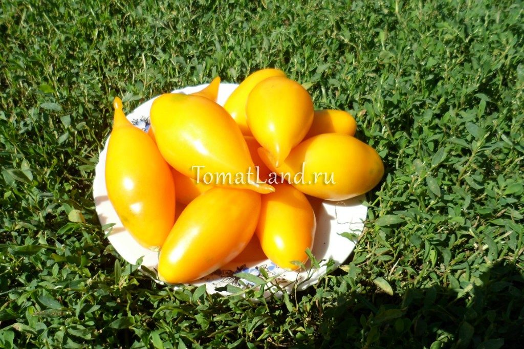 помидоры золотая анарейка фото