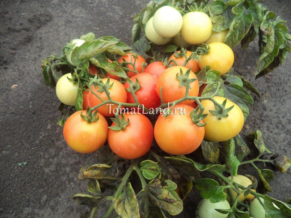 помидоры сорт Лапочка фото спелых плодов