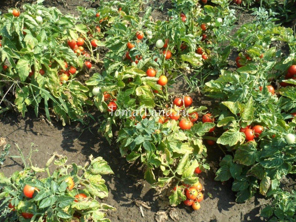 томаты лапочка фото