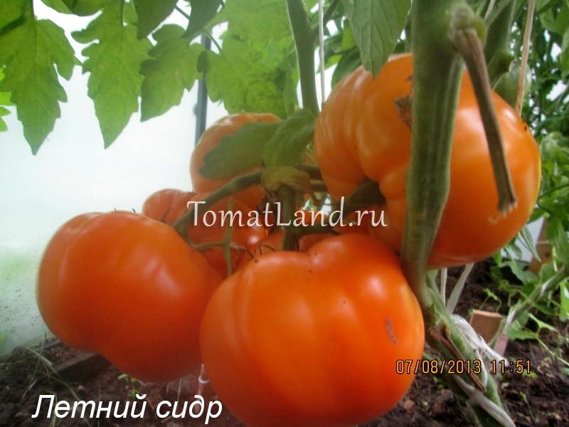 помидоры Летний сидр фото спелых плодов