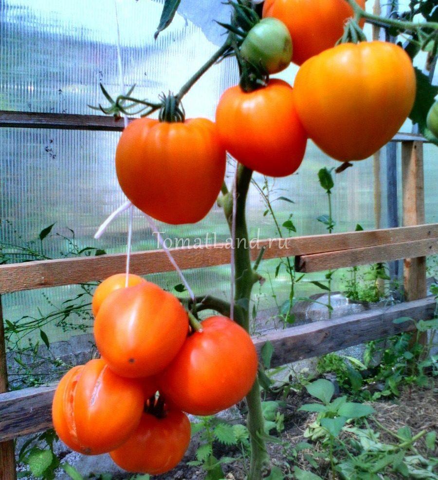 томат медовый спас фото отзывы