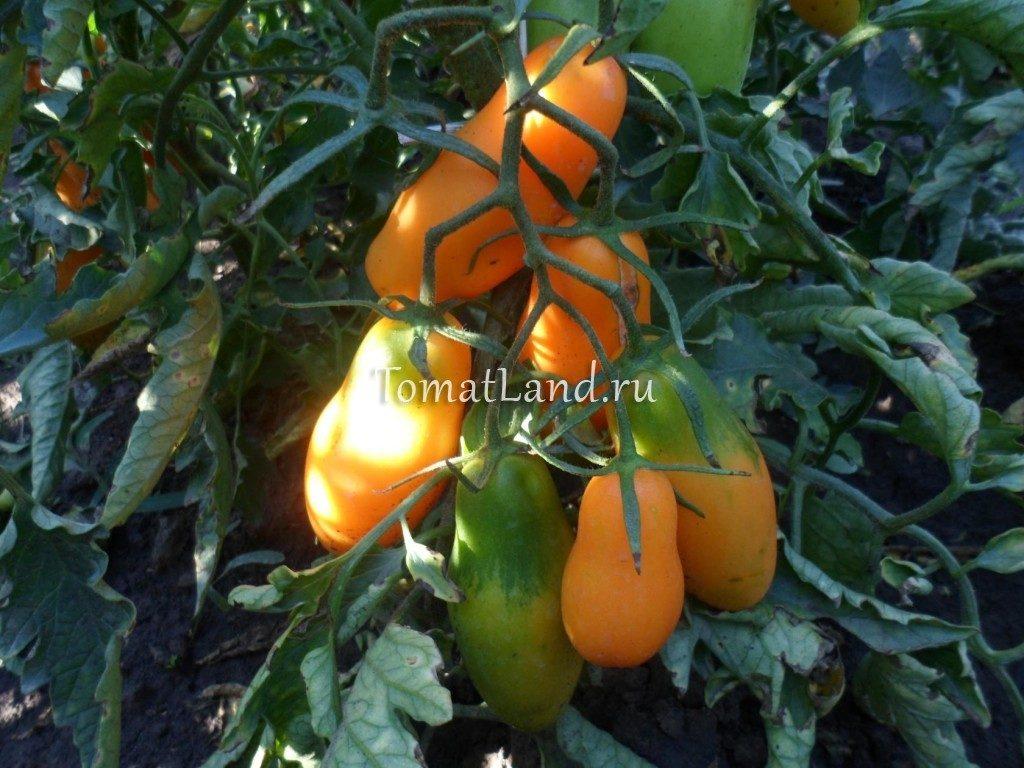 помидоры сорт Мидас фото