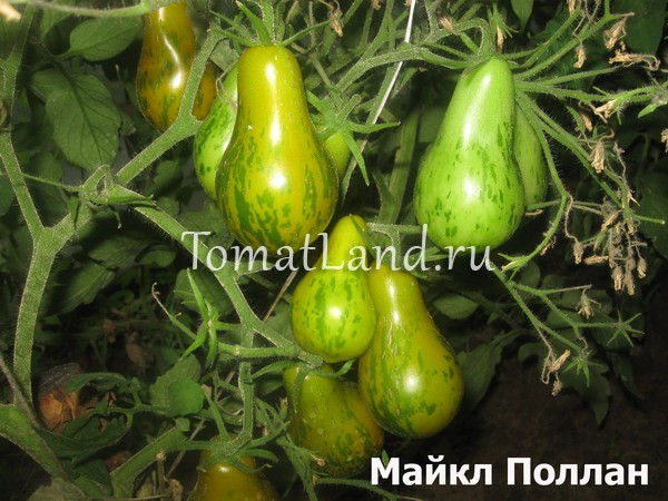 помидоры сорта Майкл фото