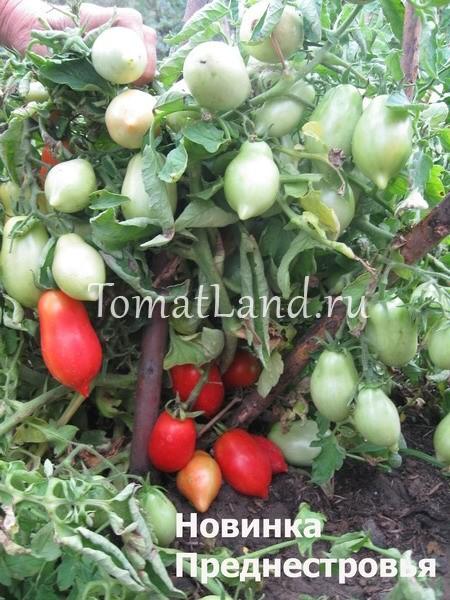 помидоры Новинка Приднестровья отзывы
