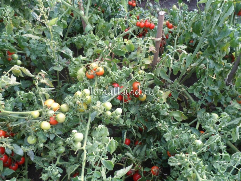 томаты сорт Принц Боргезе отзывы