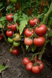 томаты Победа