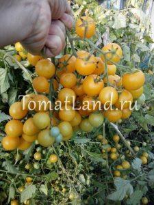 томаты Летнее солнце фото