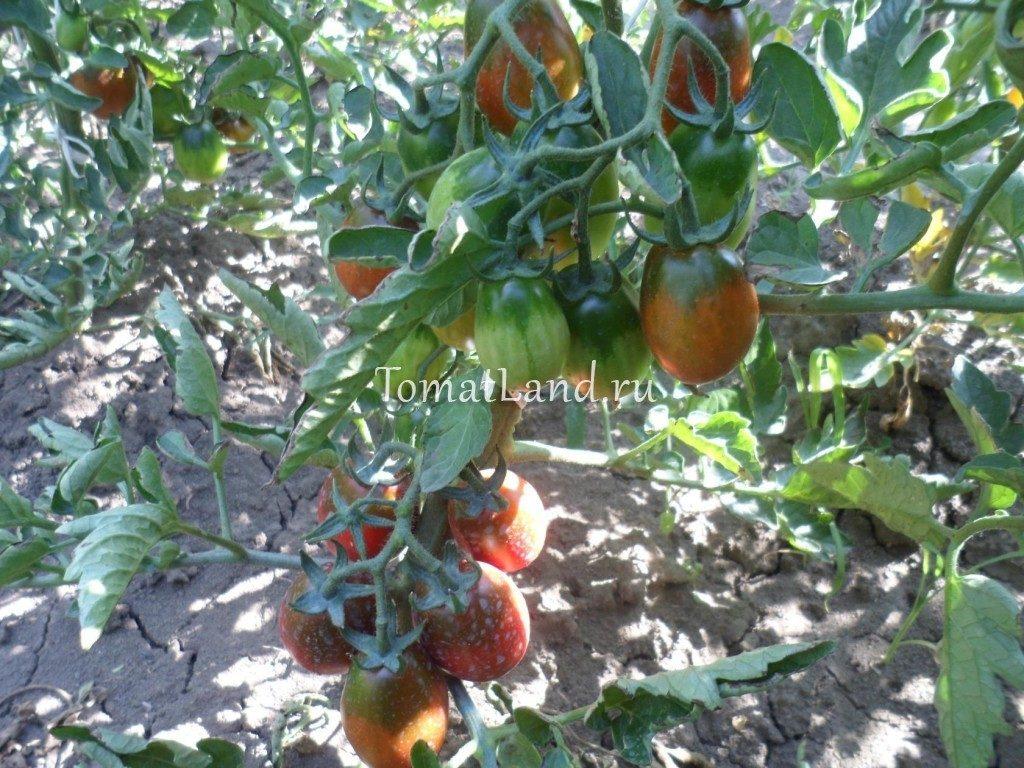 помидоры шоколадный зайчик фото отзывы