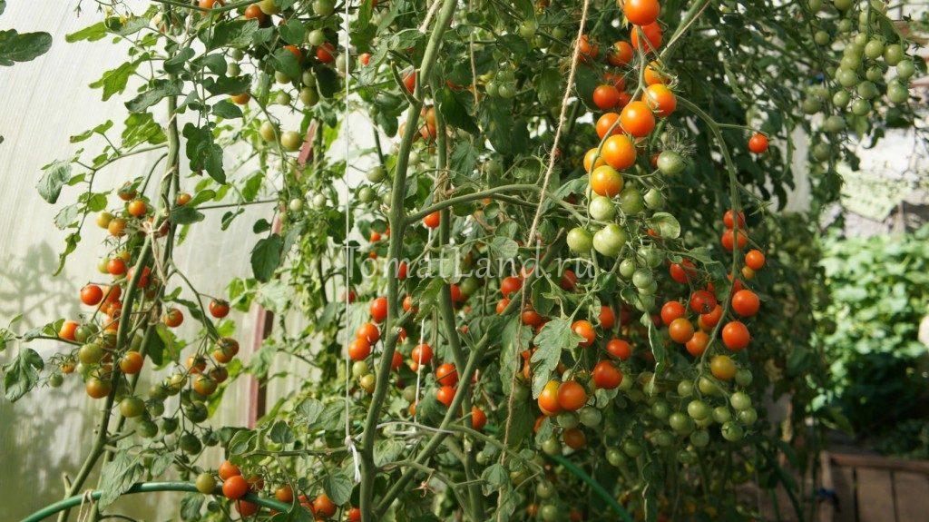 помидоры сладкий миллион фото куста