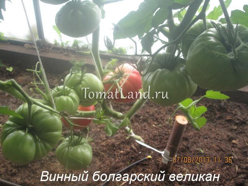 томаты Винный болгарский великан отзывы