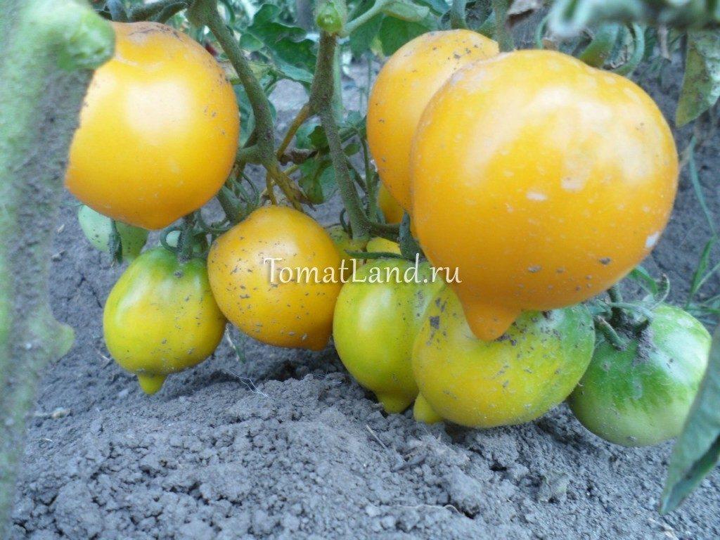 помидоры Чудо света отзывы описание характеристика