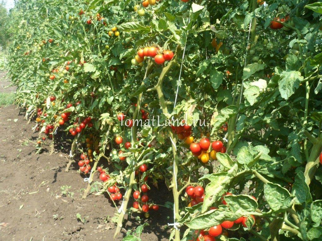 помидоры Здоровая жизнь фото