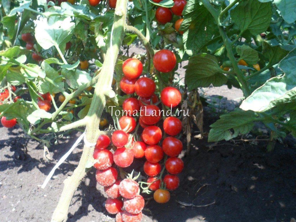 помидоры здоровая жизнь отзывы