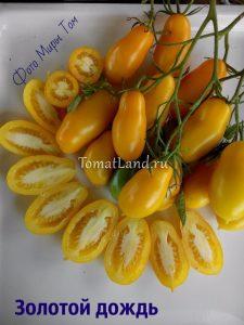помидоры золотой дождь фото