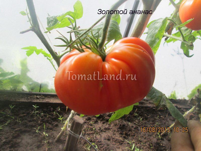 помидоры ананас фото