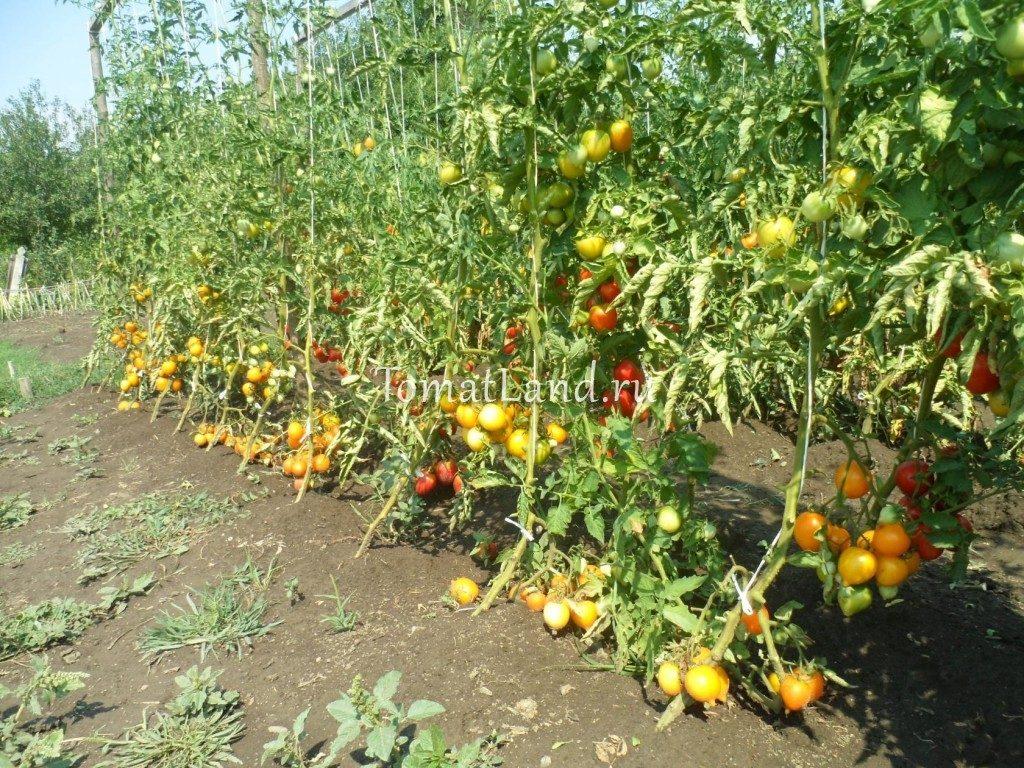 помидоры Чудо света фото отзывы
