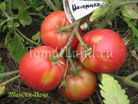 помидоры сорт Настенька фото отзывы характеристика