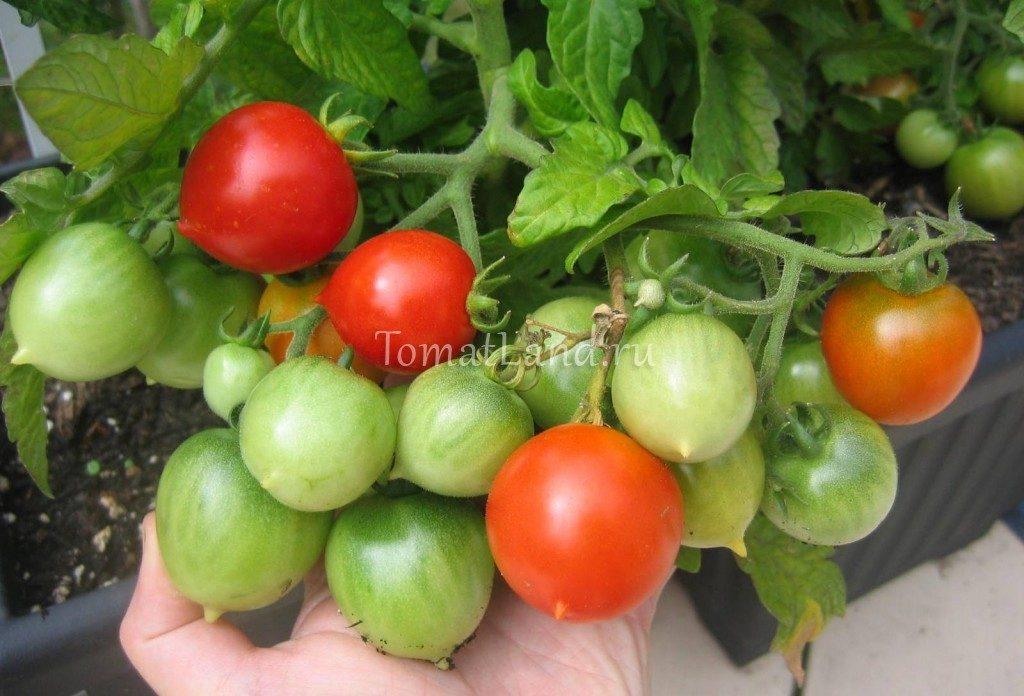 помидоры Поцелуй герани фото