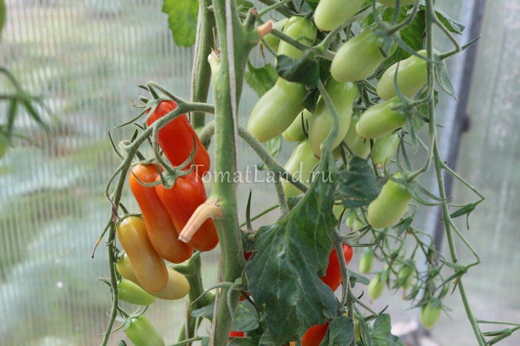 фляшен томат фото