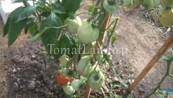 томаты алсу отзывы и фото на кусте