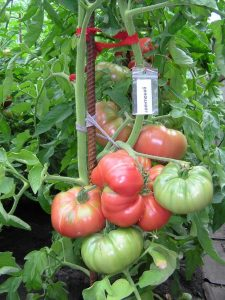 помидоры Авентюняй