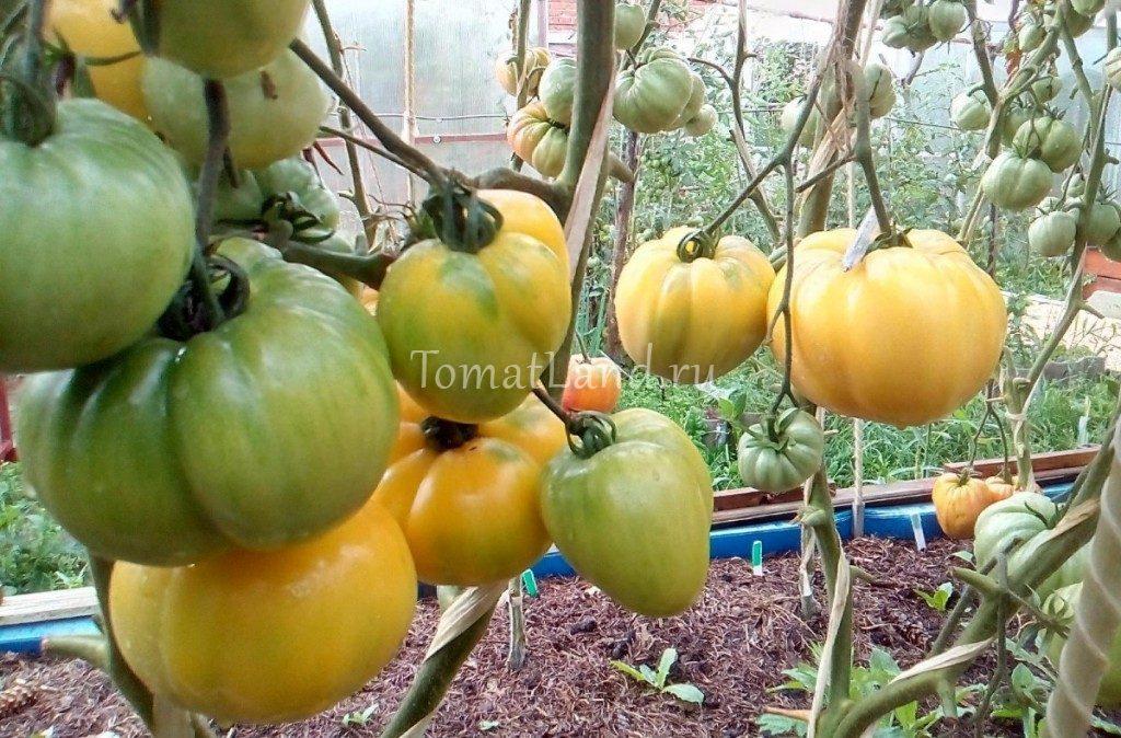 томаты бочка меда на кусте фото