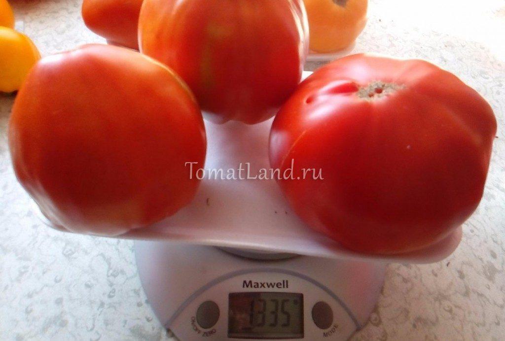 помидоры большая медведица фото