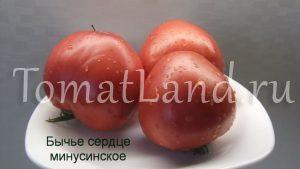 помидоры бычье сердце минусинское