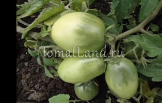 помидоры буян фото
