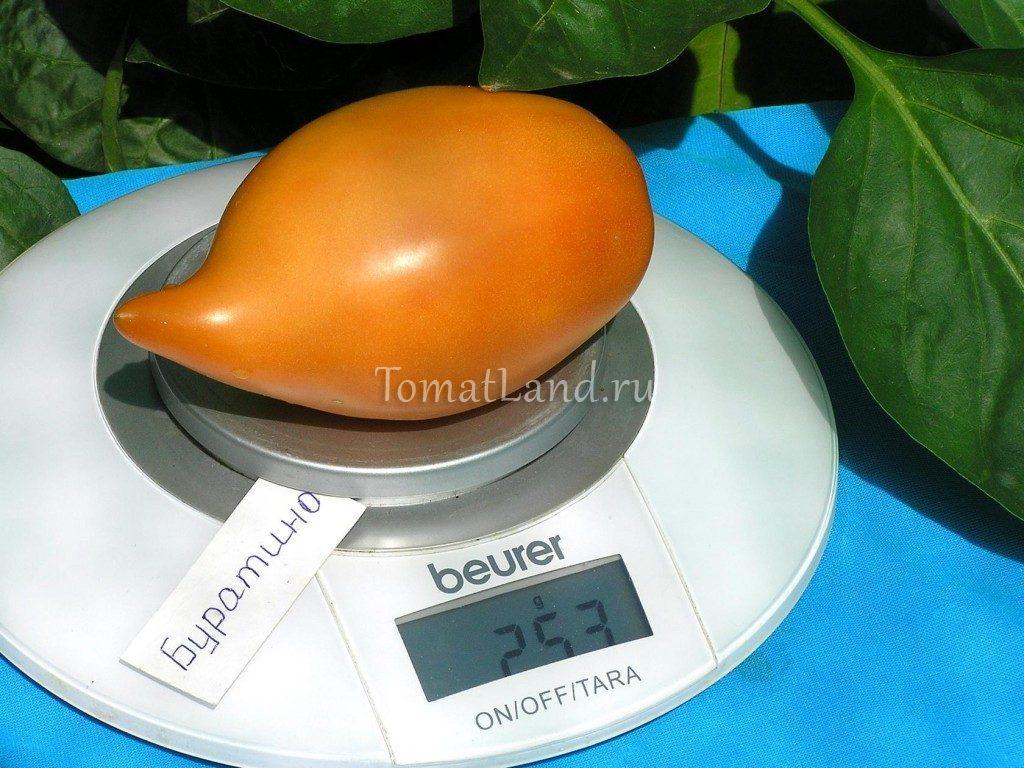 помидор буратино фото отзывы описание