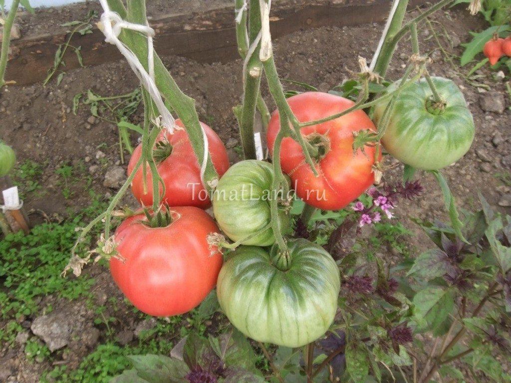 помидоры на кусте