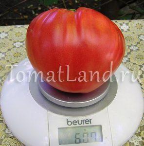 томаты дикая роза фото