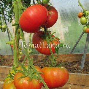помидоры Дикая роза фото