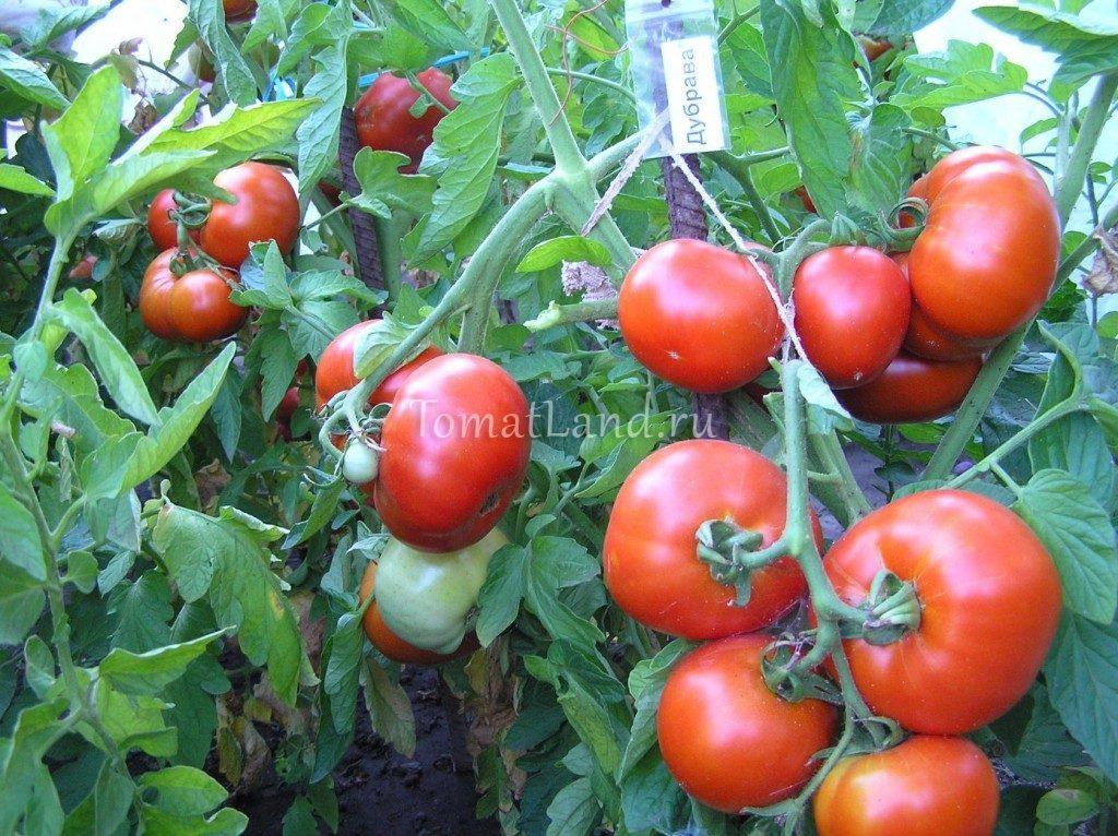 помидоры Дубрава отзывы фото характеристика