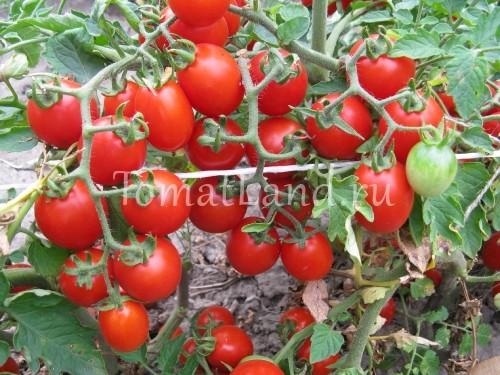 помидоры сорт Дюймовочка черри фото